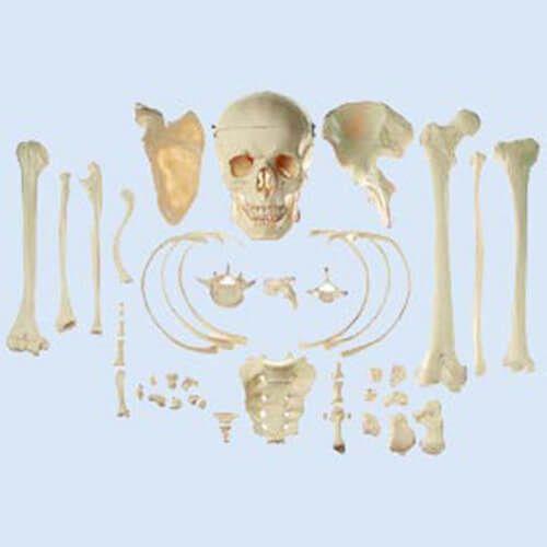 Sammlung typischer Knochen vom Menschen - Skills Med Deutschland GmbH