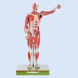 Männliche Muskelfigur, 1/2 natürlicher Größe, 27 Teile