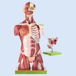 SOMSO - Anatomischer Muskeltorso mit Kopf, 41-teilig, zerlegbar