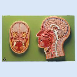 Mittel- und Frontalschnitt vom Kopf, 2 Modelle