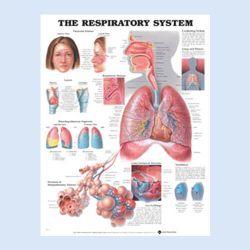"Diagramm ""Das Atmungssystem"""