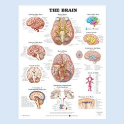 """Diagramm """"Das Gehirn"""""""