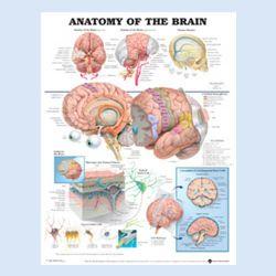 """Diagramm """"Die Anatomie des Gehirns"""""""