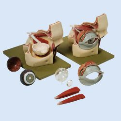 Augenhöhle mit Augapfel, 3fach vergrößert, 9 Teile