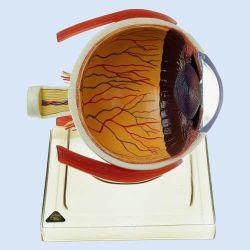 Rechte Augenhälfte, 6fach vergrößert