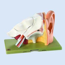 Gehörorgan, 3fach vergrößert, 6 Teile