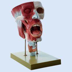 SOMSO – Nasen-, Mund- und Rachenhöhle, 10-teilig, ca. 2-fach vergrößert