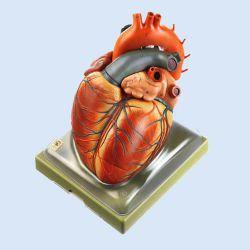 SOMSO – Herz (Hörsaalmodell), 10-teilig, ca. 4-fach vergrößert