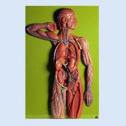 SOMSO – Lymphgefässsystem, 1-teilig, ca. 2/3 der natürlichen Größe