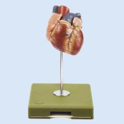 Herz, 3/4 natürliche Größe, 2 Teile
