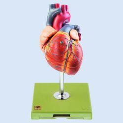 Herz mit Reizleitungssystem 1.5 fach vergrößert, 5 Teile