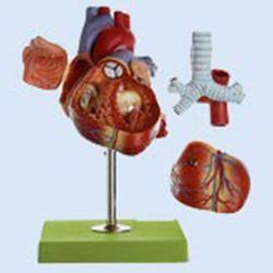 Herz, 1,5 fach vergrößert, 5 Teile
