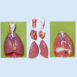 Lunge mit Herz, Zwerchfell und Kehlkopf