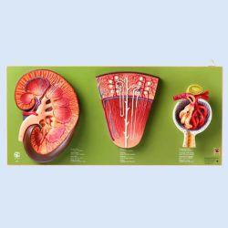 Niere, Nephron und Nierenkörperchen