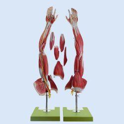 SOMSO – Muskelarm mit Schultergürtel, 6-teilig, natürliche Größe