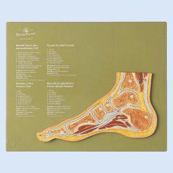 Gelenkschnitt Normal Fuß