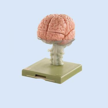 Gehirnmodell, 15 Teile