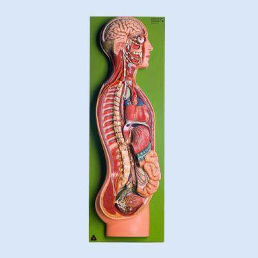 SOMSO – Autonomes Nervensystem, 1-teilig, 2/3 der natürlichen Größe