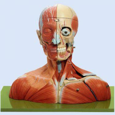 SOMSO – Kopf und Hals, 19-teilig, realitätsgetreue Größe
