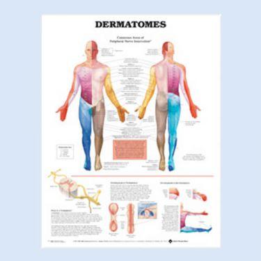 """Diagramm """"Dermatome"""""""