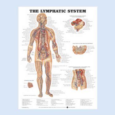 """Diagramm """"Das Lymphgefäßsystem"""""""