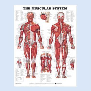 """Diagramm """"Der Weibliche Muskelbau"""""""