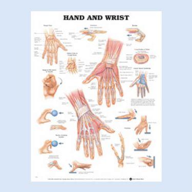 """Diagramm """"Hand und Handgelenk"""""""