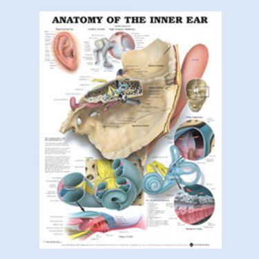 """Diagramm """"Die Anatomie des Innenohrs"""""""