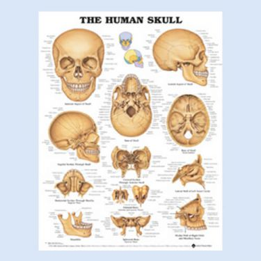 """Diagramm """"Der Menschliche Schädel"""""""