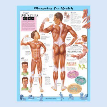 """Diagramm """"Die Gesundheitsverordnung - Deine Muskeln"""""""