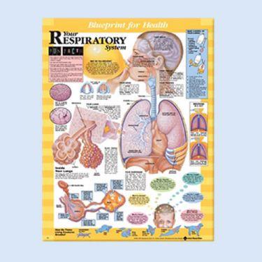 """Diagramm """"Die Gesundheitsverordnung - Dein Atemapparat"""""""