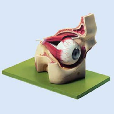 Augenhöhle mit Augapfel, 3fach vergrößert, 8 Teile