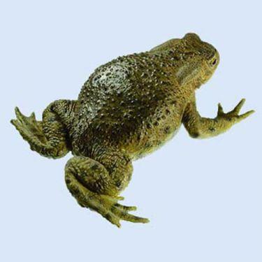 Erdkröte, weiblich